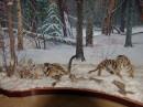 Тигры. Музей природы Лазовского заповедника. Лазовский район.
