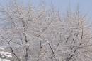 Елки в снегу. Покровский парк.