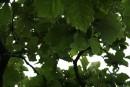 огромные листья дуба южного Приморья