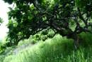 дуб из южного Приморья - очень красиво, но в хозяйстве неприменим - не горит, на доски не идет)