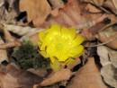 желтые подснежники стали необыкновенно жирными