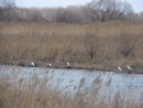 01.Цапли сели на воду в г.Лучегорске. Вокруг на реках и озерах еще лежит лед.