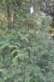 Ботанический сад, Окрестности парка, туя западная