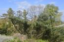 Ботанический сад, окрестности парка, Туя западная.