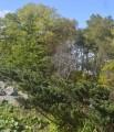 Ботанический сад, окрестности парка, туя.