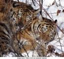 Открыт Парк тигров.
