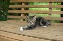 """01.Котенок """"Маркиз"""". Родился 26 марта 2011 года на базе отдыха """"Бархатная Сихотэ"""". Мать кошка """"Бося""""."""