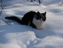 """10.Котенок """"Бархат"""" купается в снегу"""