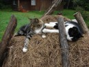 "Коты базы отдыха ""Бархатная Сихотэ"" 1.03.2013 года."