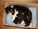 "02.Кошка ""Касатка"" родила трех котят."