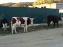 13.Корова и бычки.