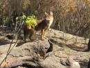 Красный волк Точнее, волчица. В Сафари-парке 3 особи красного волка, и все -девочки.
