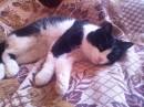 Кот Бархат очень ласковый, любит поурчать и сосиски:)