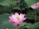 Но мне больше нравится то, что лотос - у восточных народов символ мира на земле и понимания истинного предназначения человека на Земле, цветок Будды