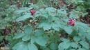 15.Лесные тюльпаны после цветения.