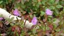 07.Багульник расцвел снова. На скальных осыпях склонов г.Облачная встречается много багульника. В сентябре багульник зацвел второй раз.