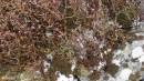 07.Багульник в снегу.