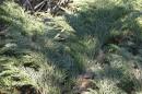 17.Микробиота. Краснокнижное растение «микробиота».