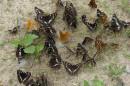11.Бабочки. Спускаясь с перевала «Сихотэ-Алинь» по дороге вдоль р.Прав.Поперечка встречали очень много бабочек сидящих на дороге.
