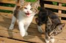 03.Подросшие котята. Такими котята стали сейчас.