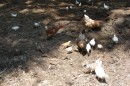 17.Куры и цыплята.