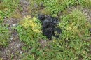 10.Здесь был медведь. Идем по плато. Вчера здесь явно побывал медведь.