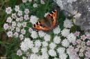 13.Высокогорная бабочка.