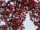 09.Кленовые листья.