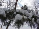 10.Кедры в снегу.